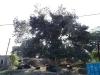 a-big-tree